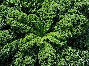 Pohledné a chutné kadeřávky jsou zelené po celou zimu