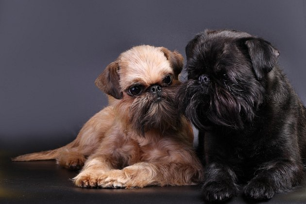 Vzhled bruselských grifonků je sice poněkud zvláštní, ale přesto jsou to roztomilí malí psi.
