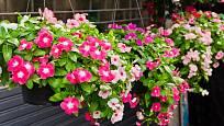 Barvínkovec můžeme také pěstovat v závěsu. Potřebuje mírně kyselý substrát a dobrou drenáž.