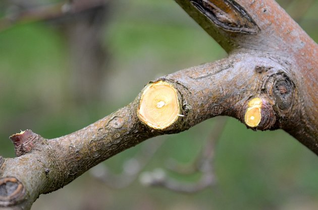 Po prořezu dřevin, který je důležitou součástí růstu, nezapomínejte na ošetření vzniklých ran