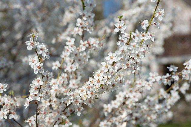 Za péči se slivoň zjara odmění záplavou květů a k podzimu sladkou úrodou