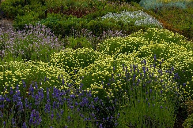 Svatolína je půvabnou součástí bylinkové zahrádky