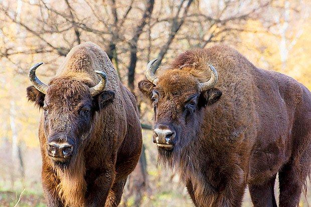 Zubr evrospský (bison bonasus), vyhubený a znovu vzkříšený