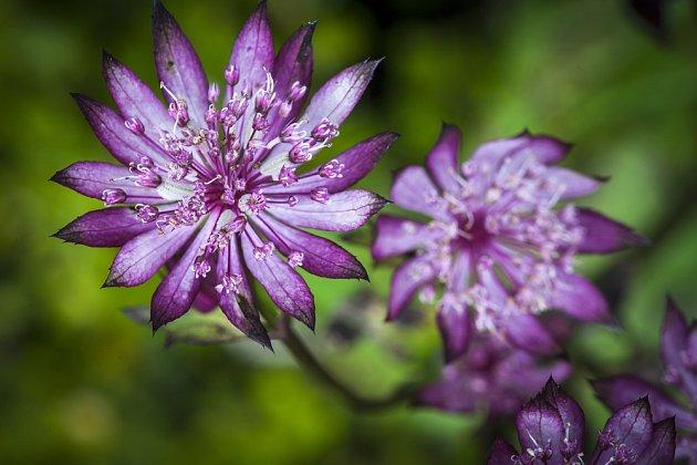 Astrantia rubra je jedna z mnoha odstínů představujících zástupce tmavě růžových až fialových jarmanek.