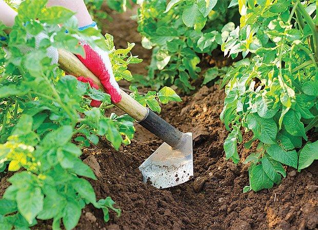 kompletní průvodce pěstování brambor
