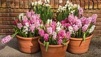 Rychlené hyacinty mohou ozdobit zápraží již časně zjara