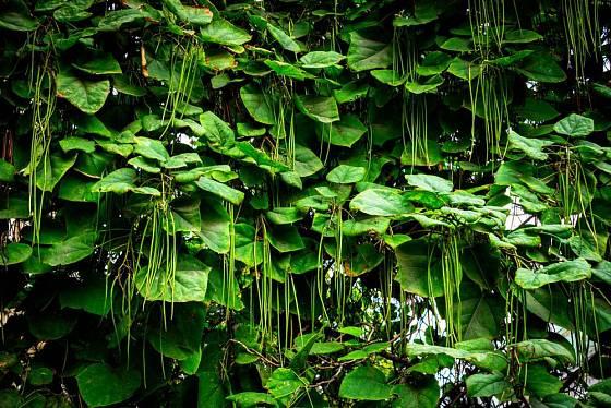 Z atraktivních květenství katalpy dozrávají dlouhé lusky