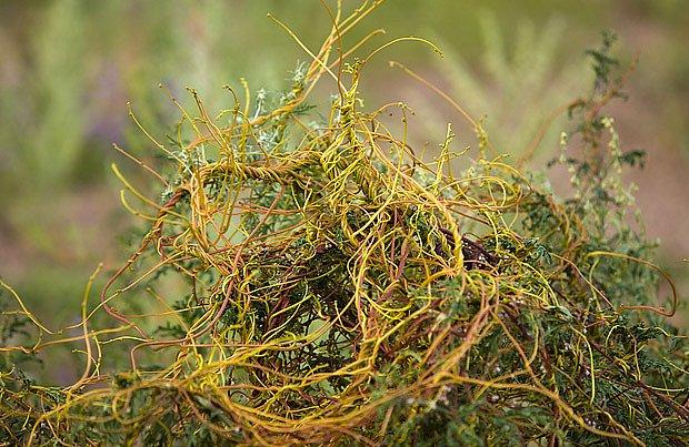 kokotice evropská (Cuscuta europaea)