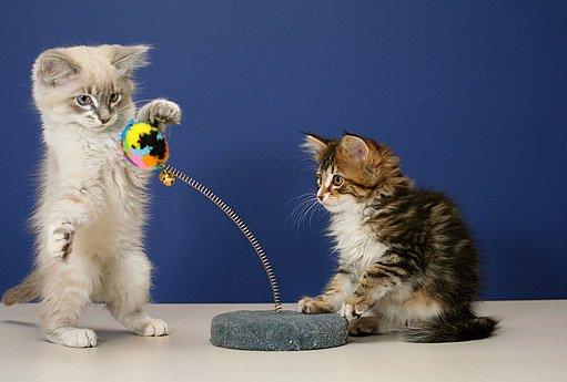 i koťata s rodokmenem jsou hravá