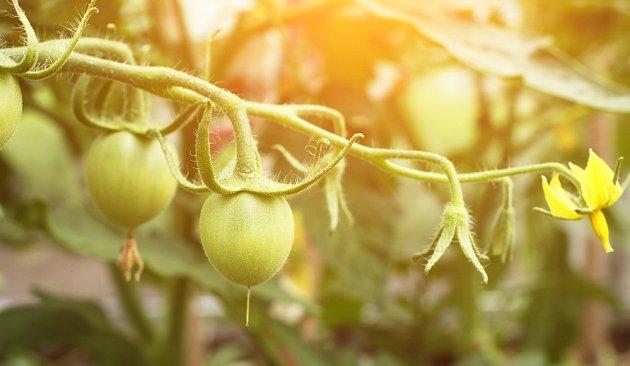 Rajčata kvetou a nasazují plody