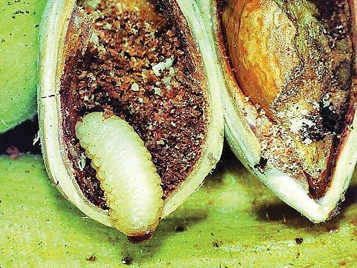 larva nosatce v ořechu