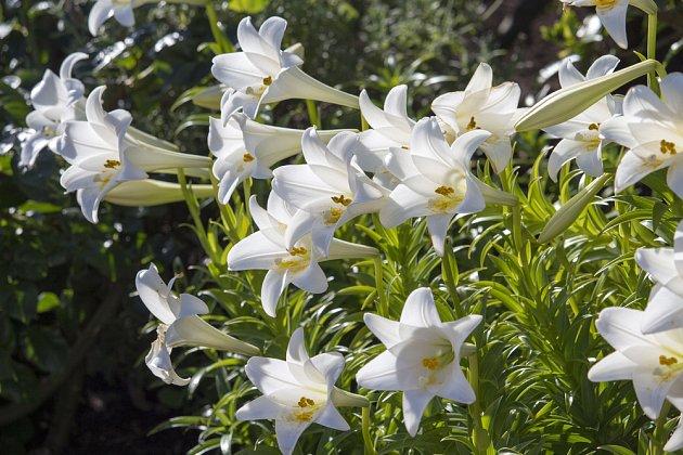 lilie bělostná