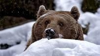 Medvěd hnědý obvykle v zimě spí.