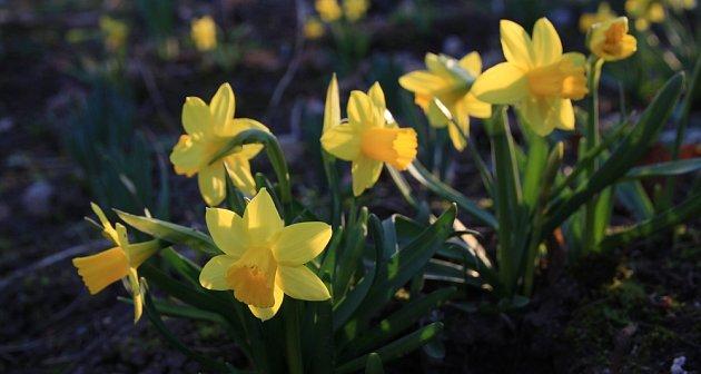 Narcisy, krásné a nenáročné jarní cibuloviny