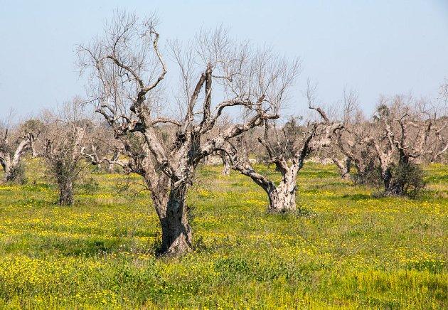 Zkáza olivovníků napadených bakterií Xylella fastidiosa