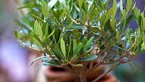 Olivovník jako přenosná rostlina