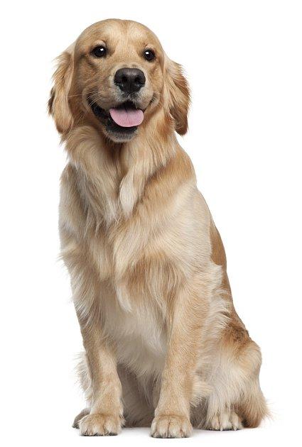 Zlatí retrívři v oboru canisterapie nemají konkurenci, snad jen ve psech, kteří mají sami speciální potřeby.
