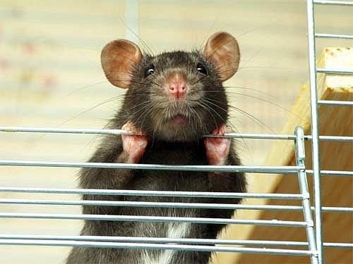 potkan v kleci
