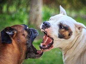 Některá psí plemena se stávají nedobrovolnými aktéry psích zápasů.