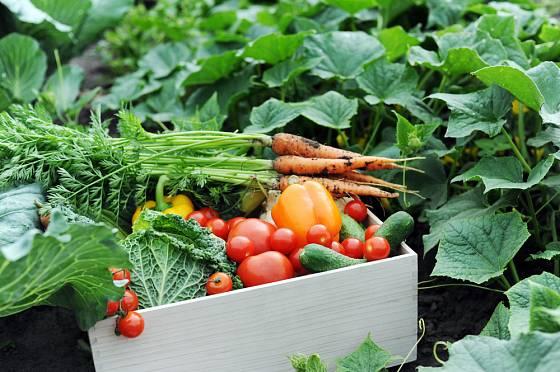 sklizeň zeleniny