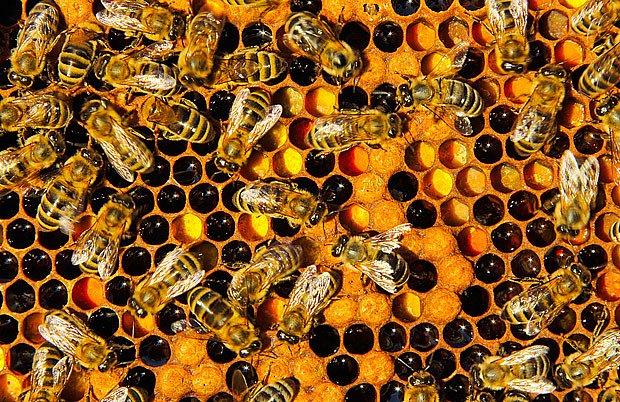 Účinná prevence včelího moru: nevracet do úlu staré plástve