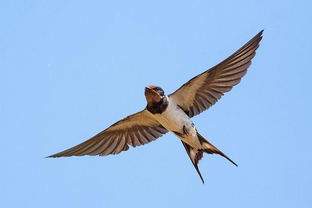 Vlaštovka obecná v letu.