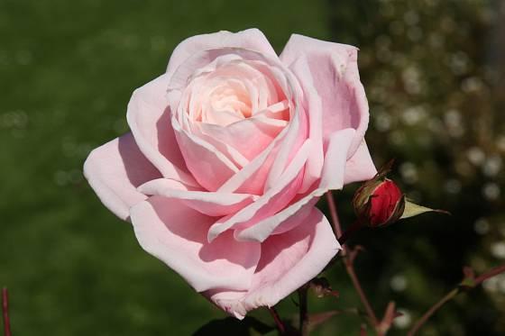 Sadová růže, odrůda Blossontime