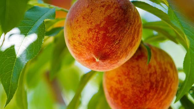Broskvoně plodí výjimečné ovoce