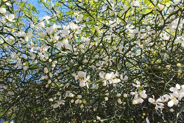 Citronečník trojlistý je atraktivní pro množství bílých květů.
