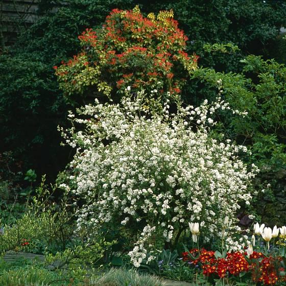 Bohatě bíle kvetoucí hroznovec (Exochorda).