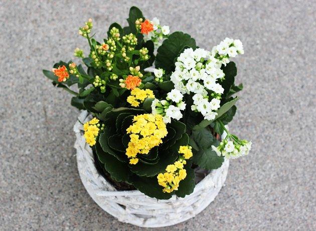 Rozkvetlou kolopejku (Kalanchoe blossfeldiana) můžeme sehnat téměř celoročně.