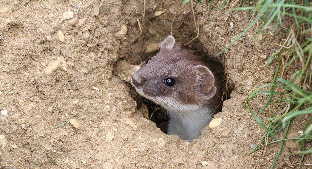 Štíhlá lasička probíhá podzemními norami hryzvů a loví je