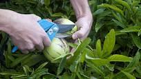 Sklizeň plodů pepína, méně známé lilkovité zeleniny