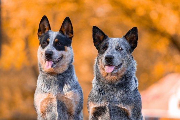 Australský honácký pes je znám také jako Blue Heeler nebo Queensland Heeler.
