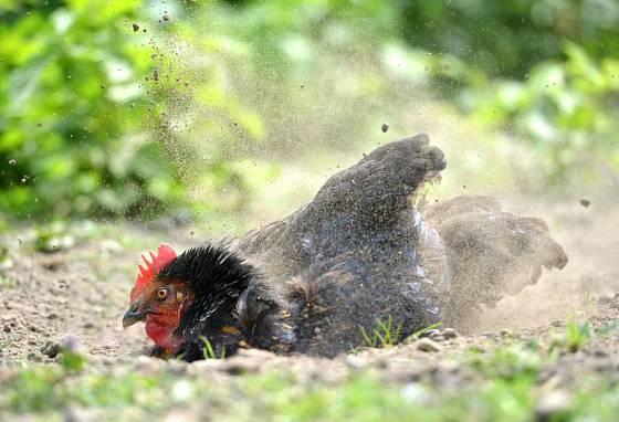 Drůbež se díky popelení čistí a rovněž zbavuje parazitů
