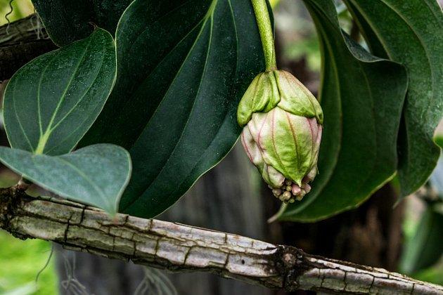 Květy medinily jsou ukryty ve velkých listenech.