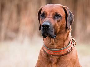 Čím větší je náš pes, tím širší obojek by měl mít.