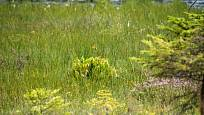 Sarracenia purpurea na Šumavě