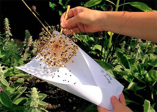 sběr semínek do kornoutu