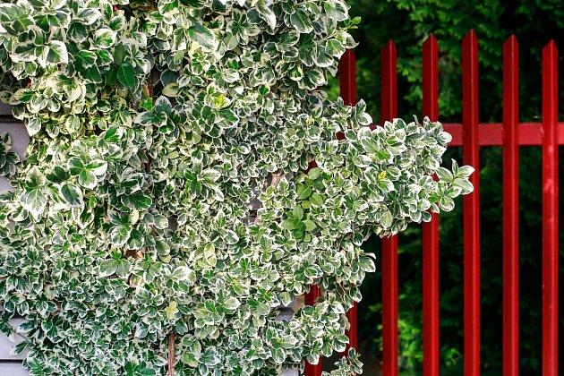 Brslen Fortuneův (Euonymus fortunei)