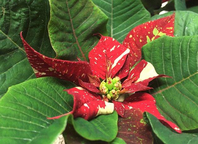 Květy vánoční hvězdy jsou poměrně nevýrazné, atraktivní jsou především zbarvené listeny.