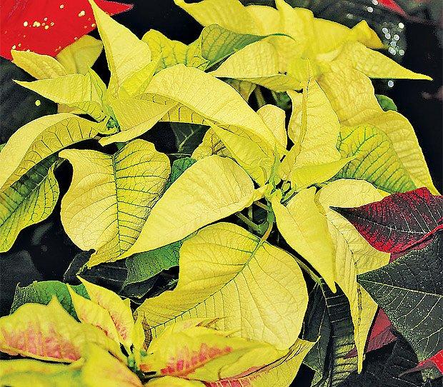 Žluta forma vánoční hvězdy