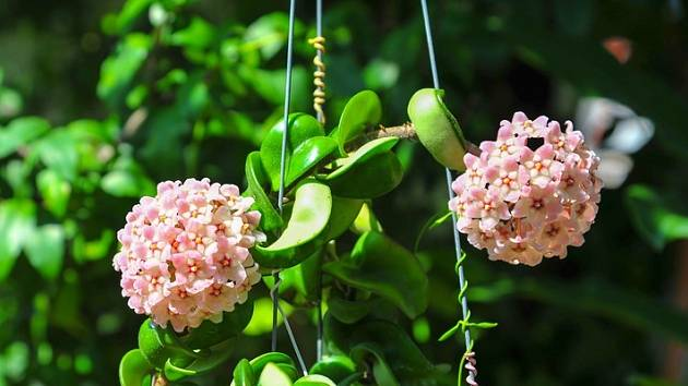 Tato zajímavá a velmi dekorativní rostlina byla královnou vpříbytcích našich babiček