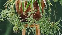 Pro pěstování zelence se skvěle hodí závěsné nádoby nebo květináče na podstavci.