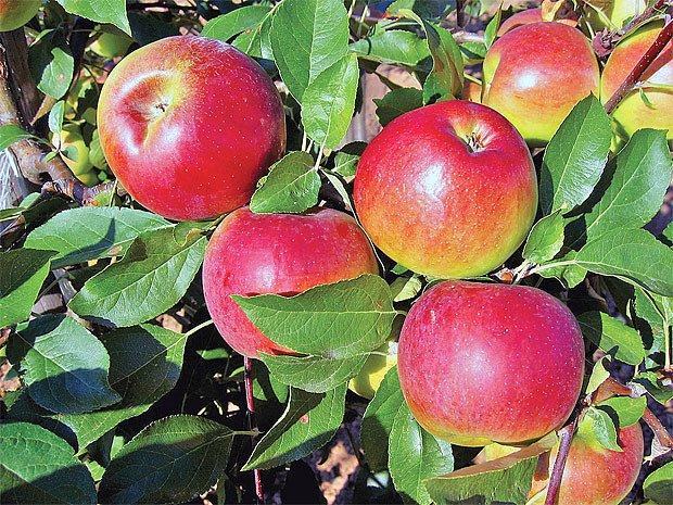 Zimní jabloně