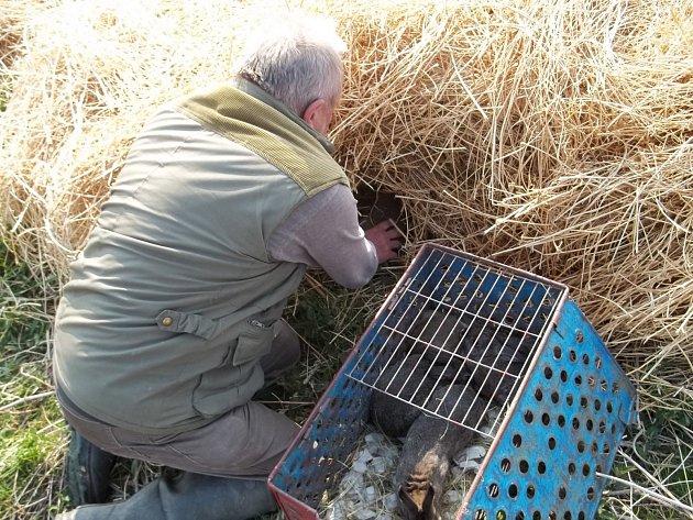 S pomocí úkrytu v seně vypuštění králíky nestresuje a jsou hned zpočátku chráněni