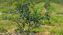 Keř brusnice chocholičnaté (Vaccinium corymbosum) dorůstá až , metru výšky.