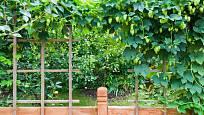 Chmel pomůže vytvořit v zahradě zajímavé zákoutí.