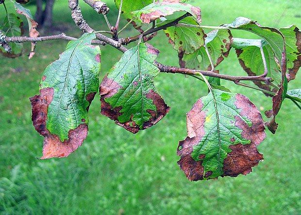 Ovocné stromy mohou napadnout houbové i bakteriální choroby