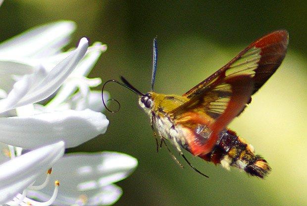 dlouhozobka zimolezová (Hemaris fuciformis)